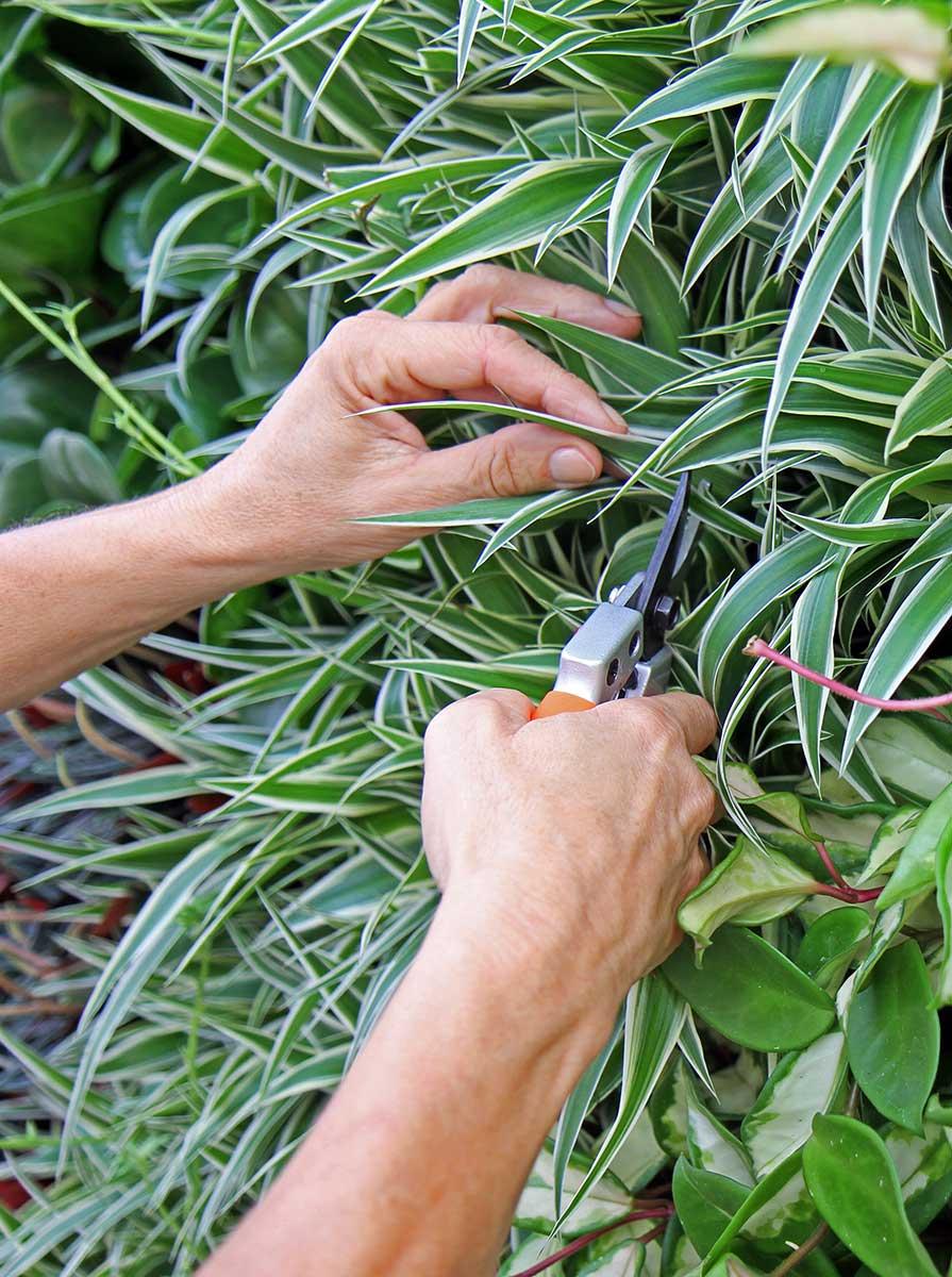 Pflanzenpflege bei Kremkau Raumbegrünung