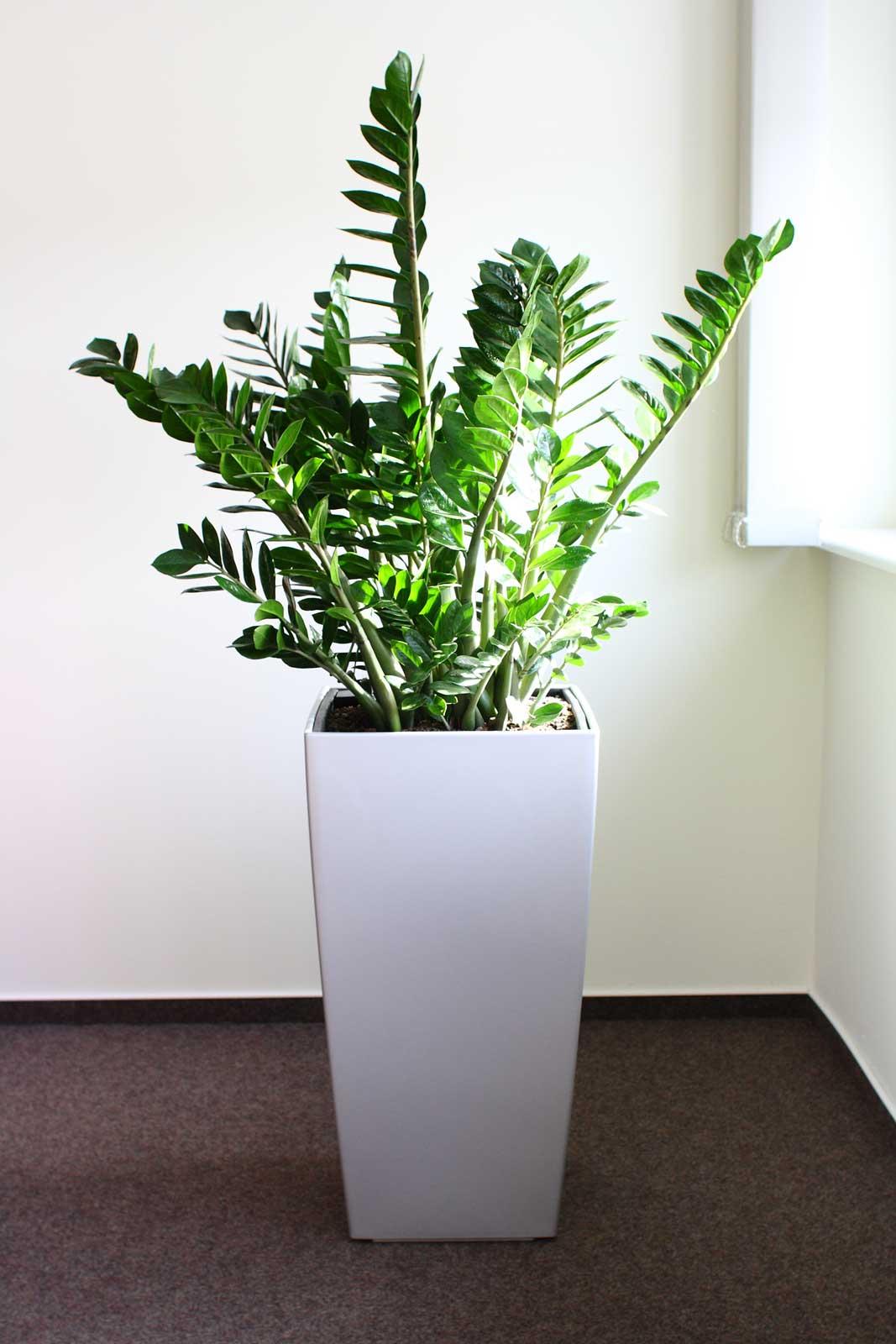 Glücksfeder als pflegeleichte Zimmerpflanze im Büro