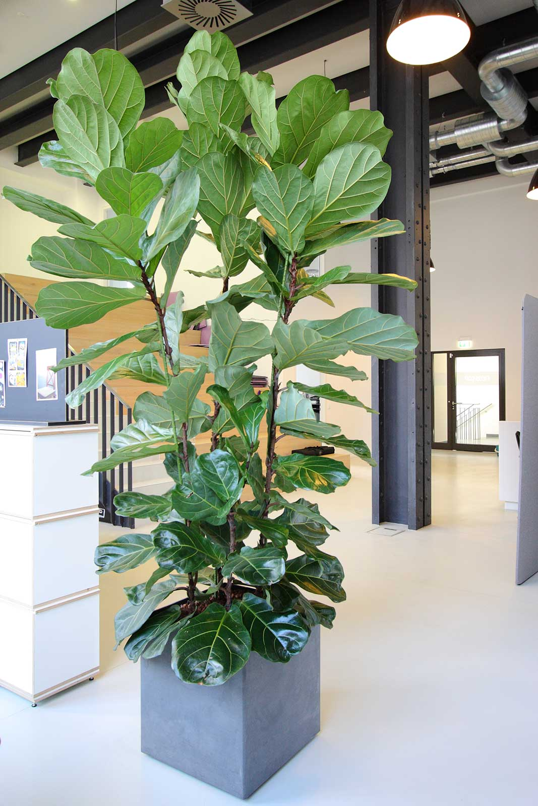 Ficus lyrata als Mietpflanze im Großraumbüro