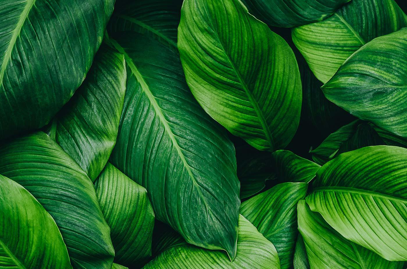 Blätter mit Regentropfen - Nachhaltigkeit bei Kremkau Raumbegrünung